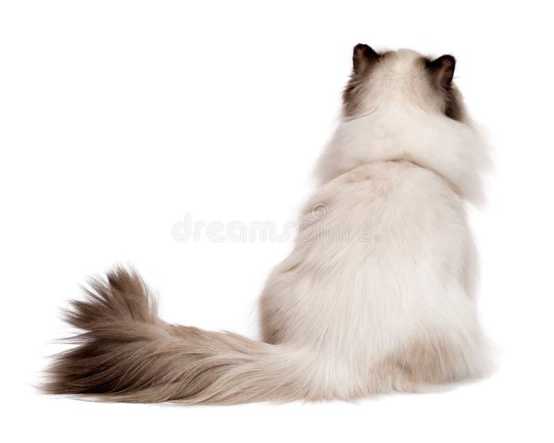 逗人喜爱的幼小波斯封印colourpoint猫从后面拍摄了 免版税库存图片