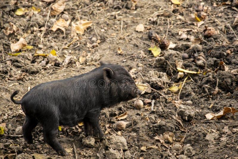 逗人喜爱的幼小,黑越南大肚子猪 免版税图库摄影