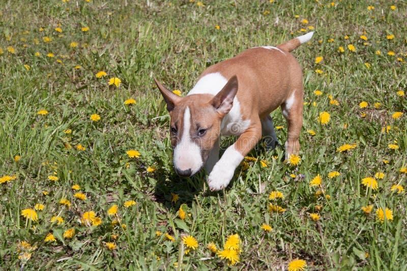 逗人喜爱的微型杂种犬是使用和跳跃在一个绿色草甸 宠物 库存图片