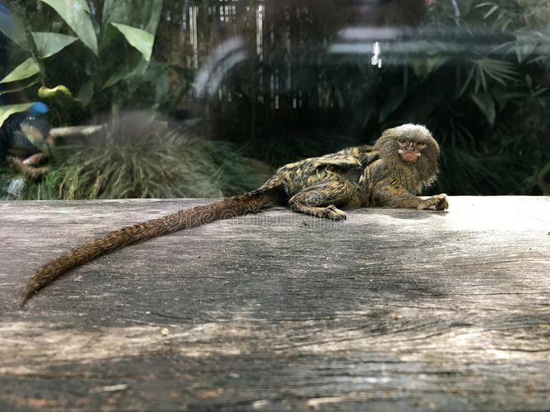 逗人喜爱的微小的矮小猴子 免版税库存图片
