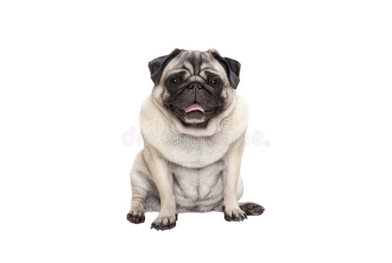 逗人喜爱的微笑的哈巴狗小狗下来与舌头,隔绝坐白色背景 库存照片