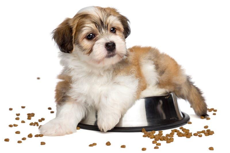 逗人喜爱的心满意足的Havanese小狗在金属食物碗说谎 库存图片