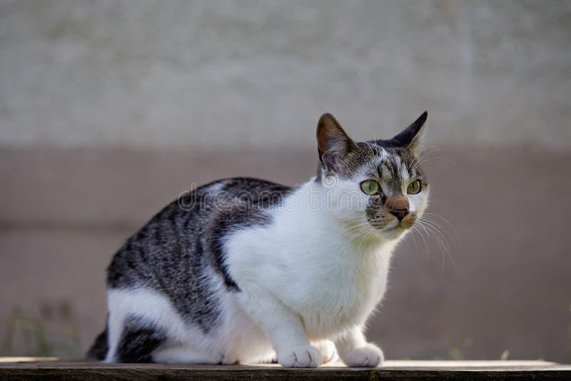 逗人喜爱的机敏的猫坐庭院桌 免版税库存照片