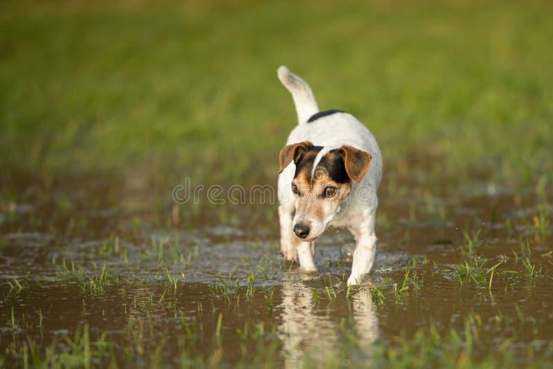 逗人喜爱的杰克罗素狗狗12岁在有水水坑的一个草甸跑在冷天 库存图片