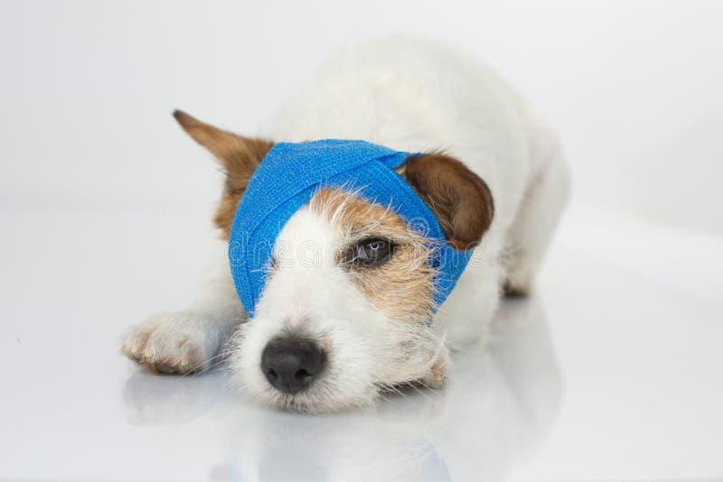 逗人喜爱的杰克罗素狗非常病与被隔绝的蓝色绷带,  免版税库存图片