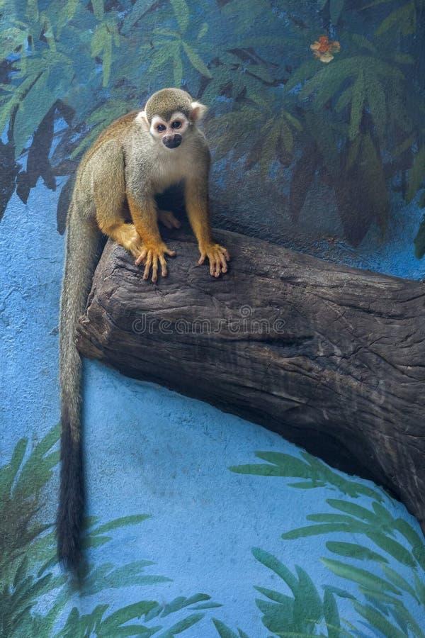 逗人喜爱的松鼠猴子 免版税库存图片