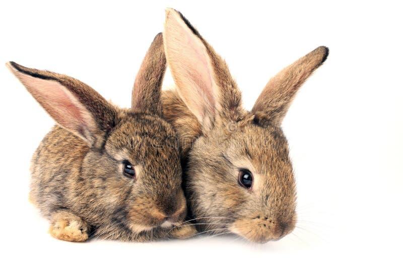 逗人喜爱的查出的兔子 免版税库存图片