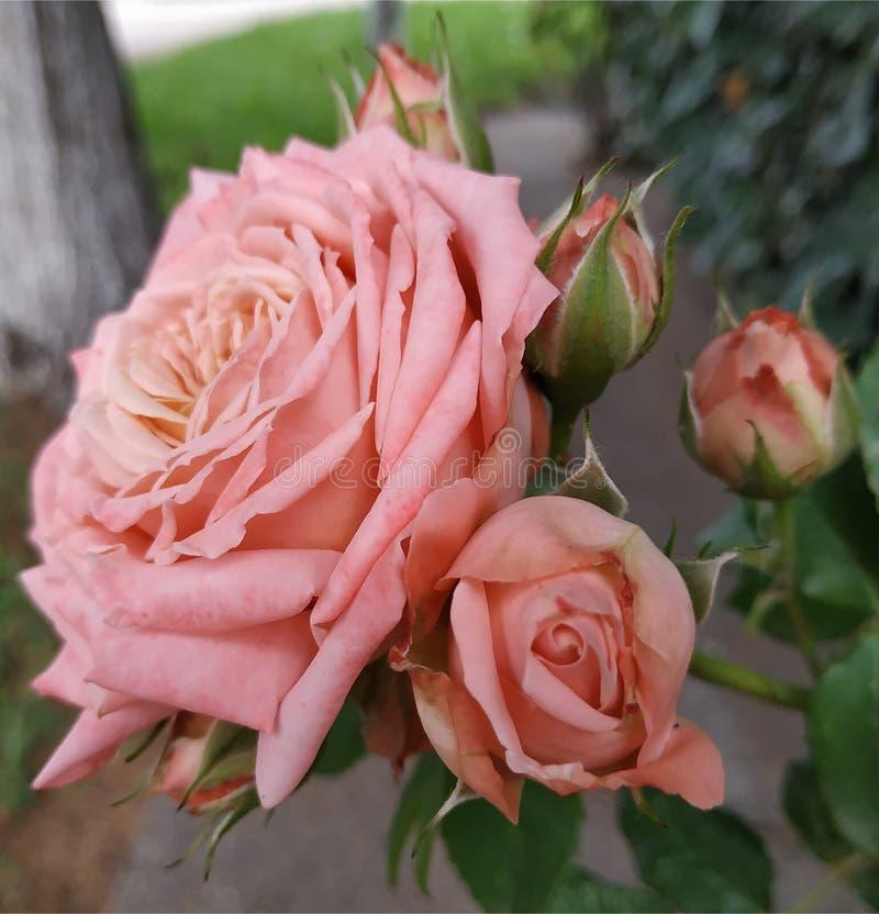 逗人喜爱的桃红色罗斯 大一个与小孩 免版税库存图片