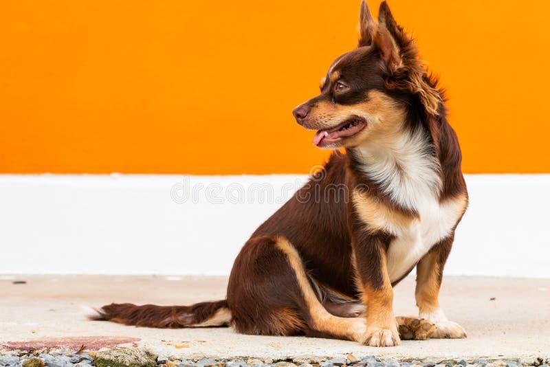 逗人喜爱的棕色奇瓦瓦狗狗坐橙色和白色背景 免版税图库摄影