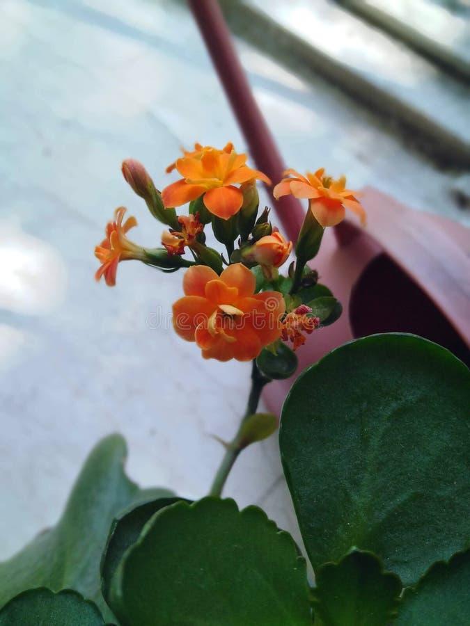 逗人喜爱的橙色室内花 免版税库存照片