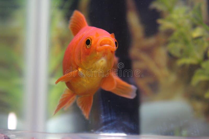 逗人喜爱的橙色鱼 库存照片