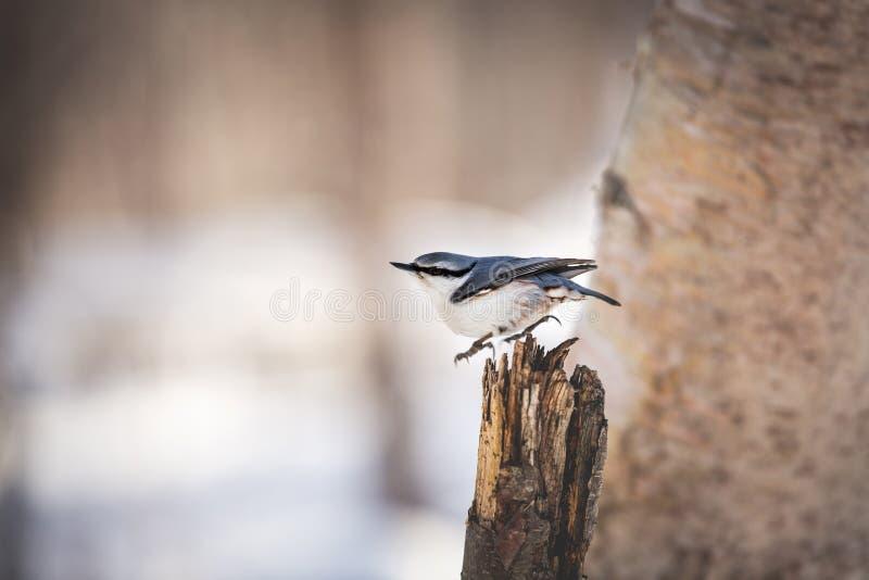 逗人喜爱的欧亚五子雀五子雀类europaea鸟在冬天森林里,坐树桩在日落 免版税库存图片