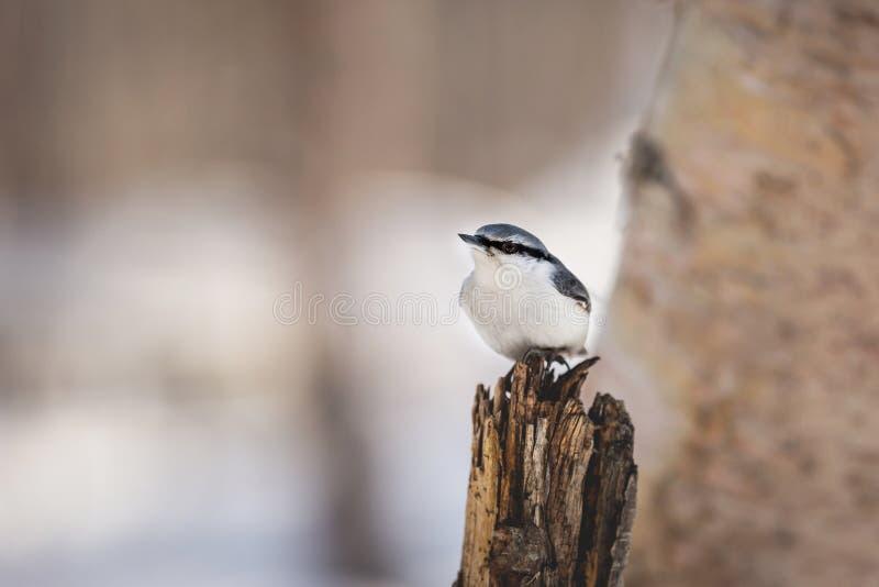 逗人喜爱的欧亚五子雀五子雀类europaea鸟在冬天森林里,坐树桩在日落 库存图片