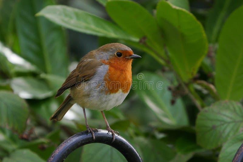 逗人喜爱的欧洲人罗宾/画眉rubecula鸟在金属篱芭栖息在夏天 免版税图库摄影