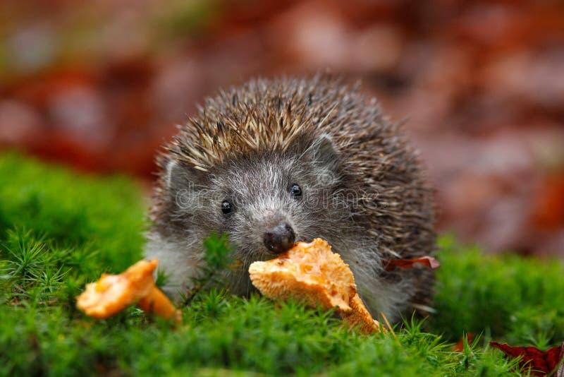 逗人喜爱的欧洲猬,猬属europaeus,吃在绿色青苔的橙色蘑菇 库存照片