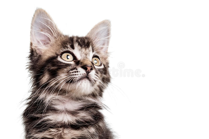 逗人喜爱的毛茸的小猫关闭 免版税库存照片
