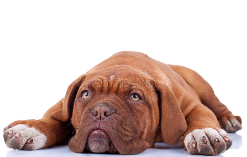 逗人喜爱的法国大型猛犬 免版税库存图片
