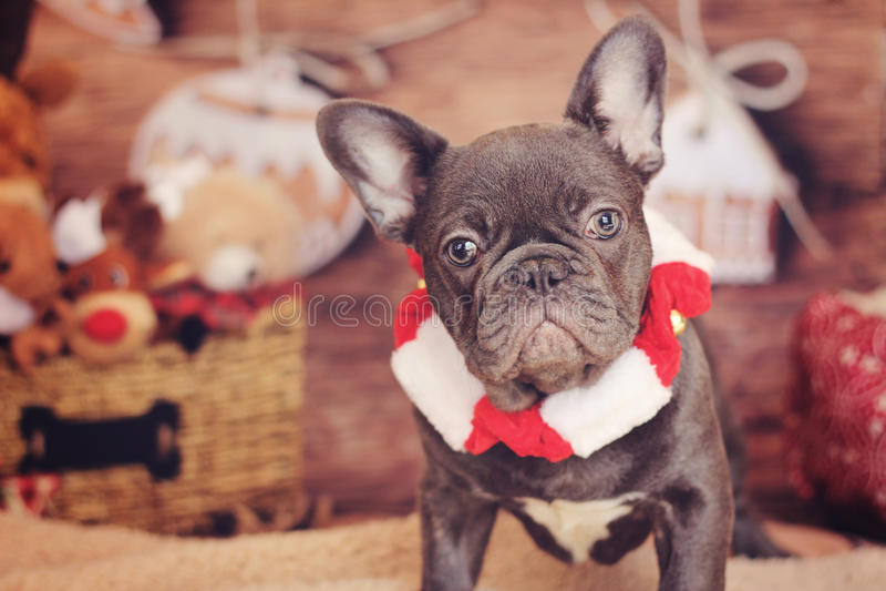 逗人喜爱的法国牛头犬圣诞节 免版税库存图片