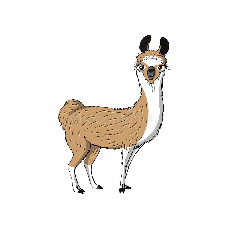 逗人喜爱的滑稽的动物棕色骆马 背景查出的白色 皇族释放例证