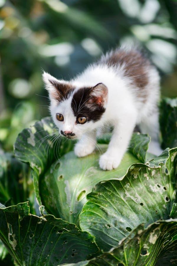 逗人喜爱的滑稽的好奇小猫猫坐圆白菜 免版税库存照片