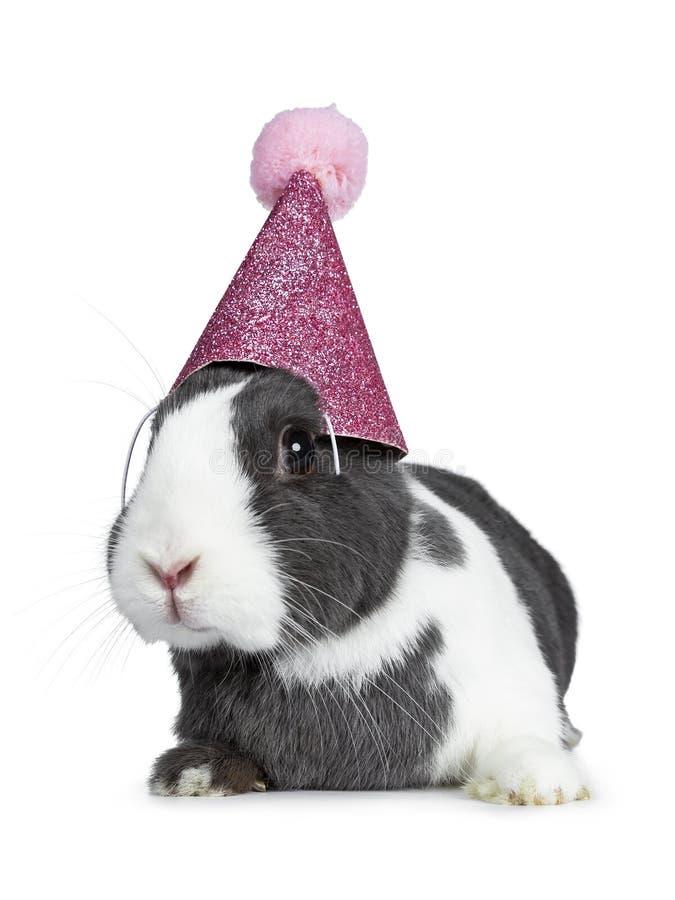 逗人喜爱的灰色用白色欧洲的兔子,隔绝在白色背景 图库摄影