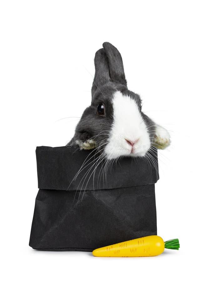 逗人喜爱的灰色用白色欧洲的兔子,隔绝在白色背景 库存图片