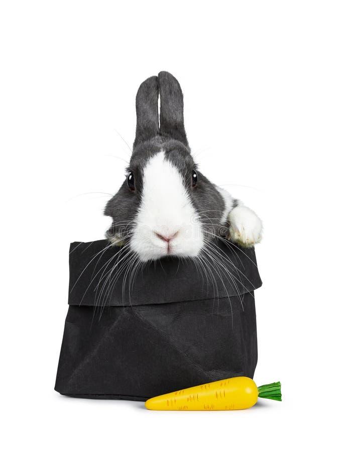 逗人喜爱的灰色用白色欧洲的兔子,隔绝在白色背景 库存照片