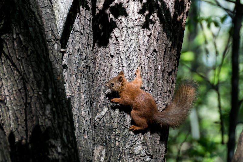 逗人喜爱的灰鼠在森林里 免版税图库摄影