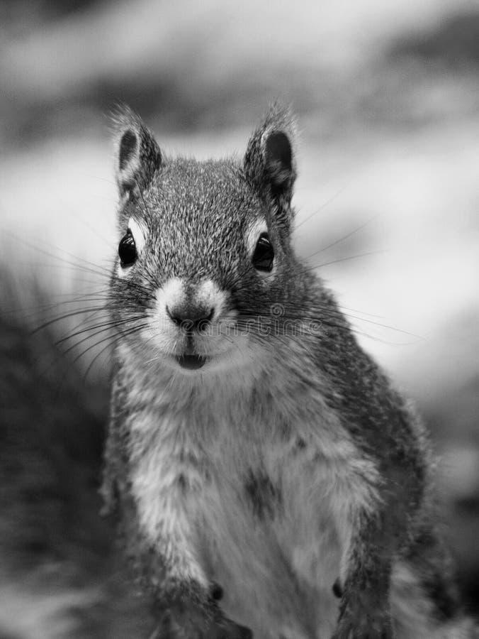 逗人喜爱的灰鼠 库存照片