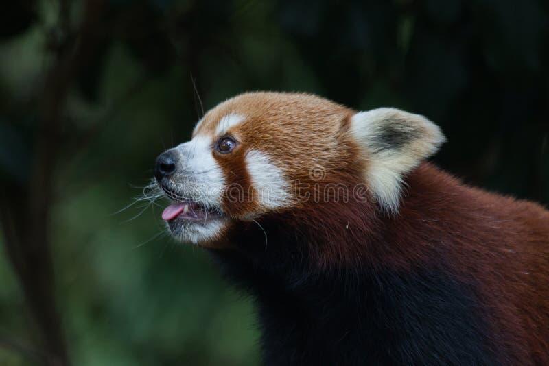 逗人喜爱的熊猫红色 库存照片