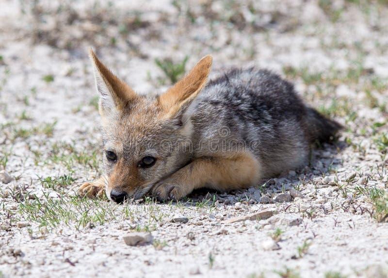 逗人喜爱的狐狼婴孩 免版税图库摄影