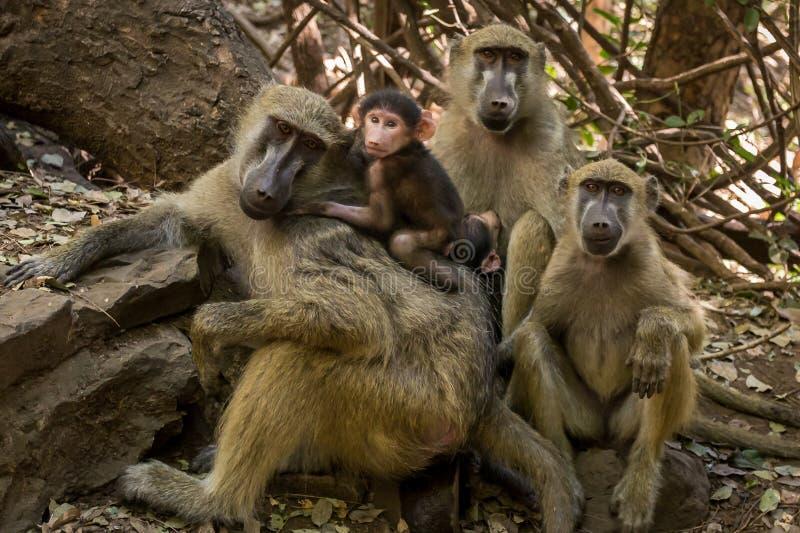 逗人喜爱的狒狒家庭 库存照片