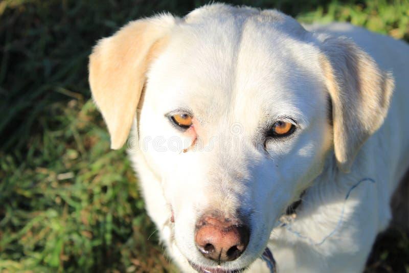 逗人喜爱的狗在加利西亚 库存图片