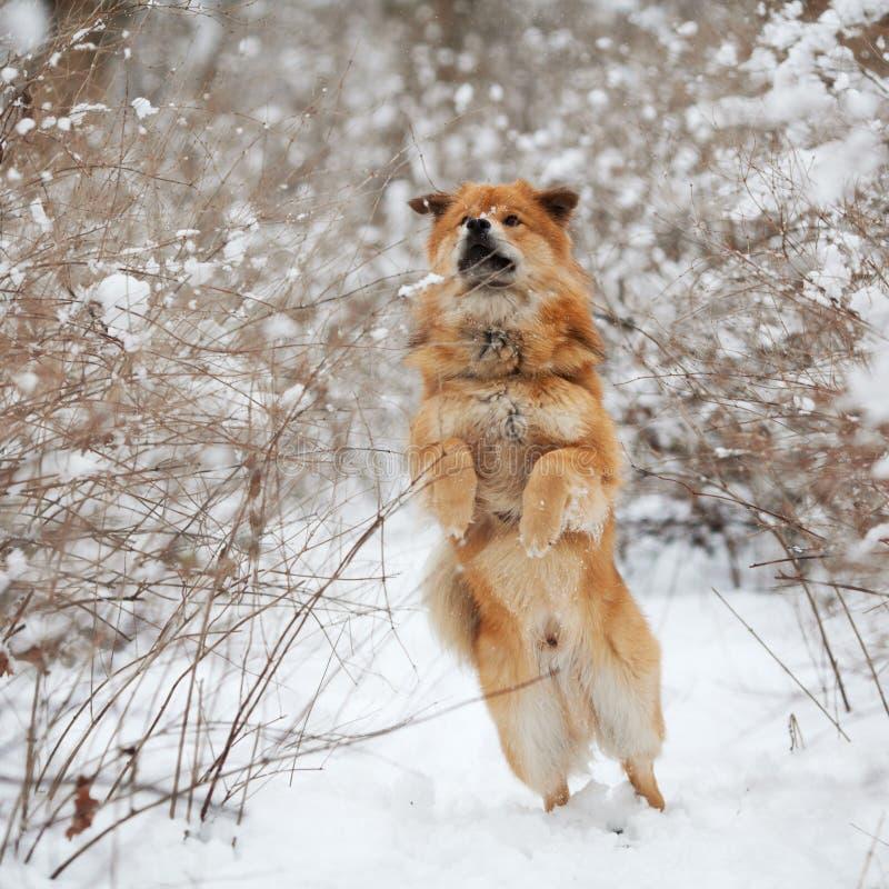 逗人喜爱的狗在雪跳 库存照片