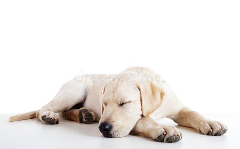 逗人喜爱的狗拉布拉多 库存图片