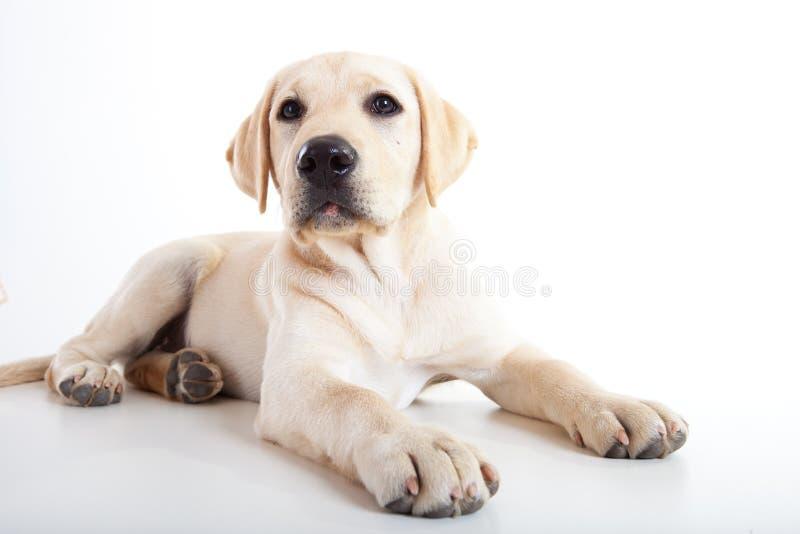 逗人喜爱的狗拉布拉多 免版税库存照片