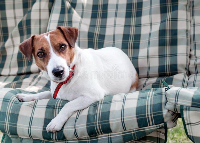 逗人喜爱的狗杰克基于青绿的方格的垫或坐垫的罗素特写镜头画象在庭院长凳或沙发 库存图片