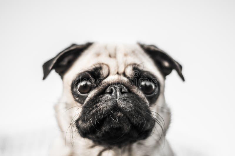 逗人喜爱的狗,拖把 库存图片