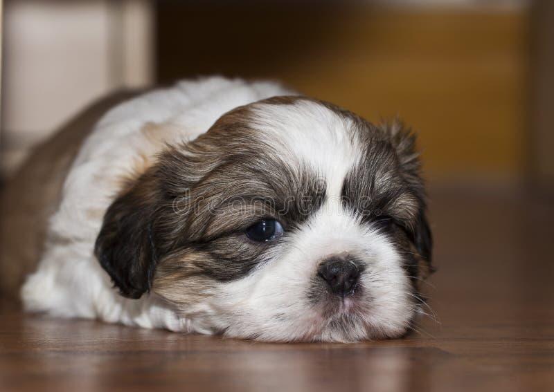 逗人喜爱的狗shih tzu 免版税图库摄影