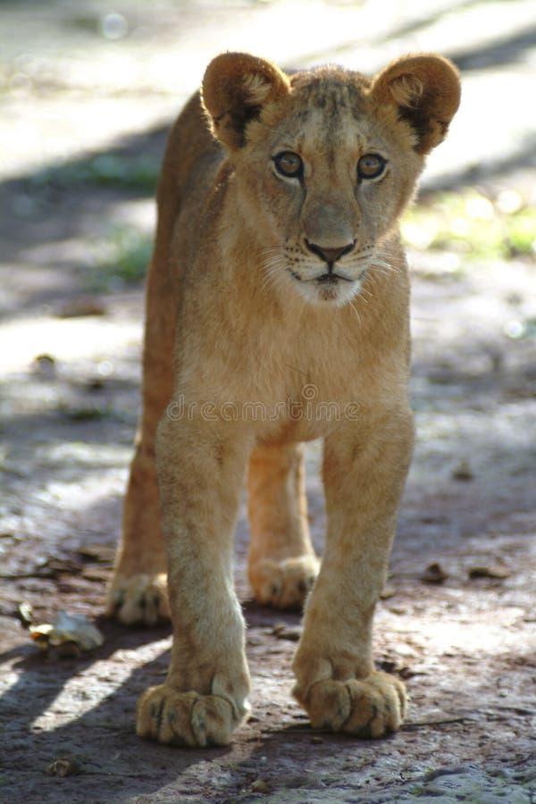 崽逗人喜爱的狮子 免版税库存图片