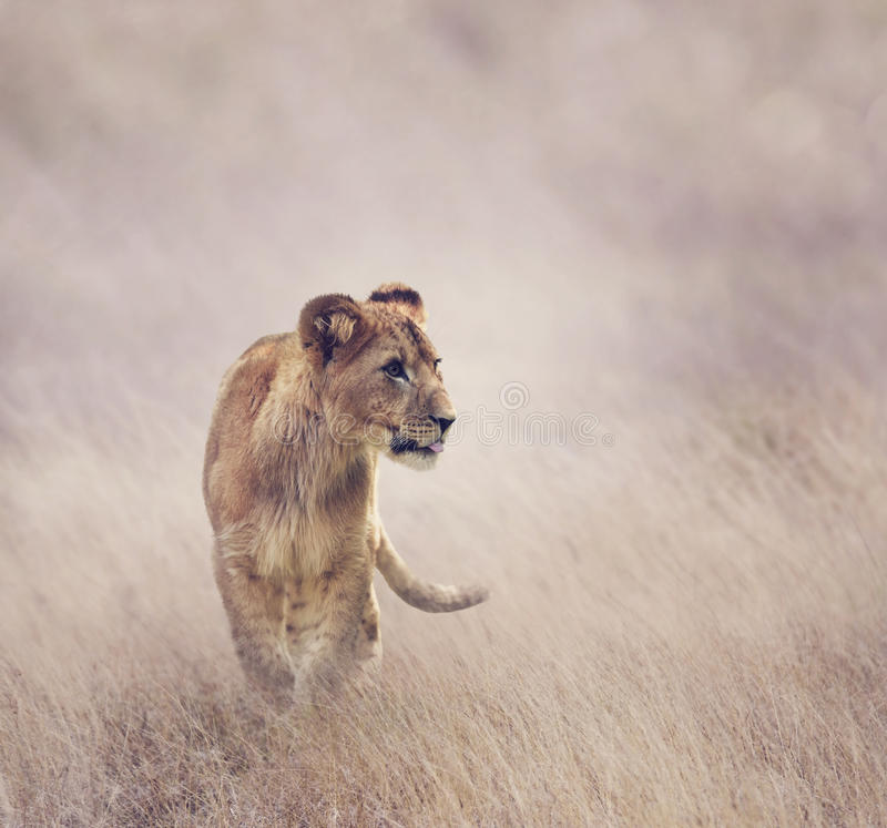 崽逗人喜爱的狮子 库存图片