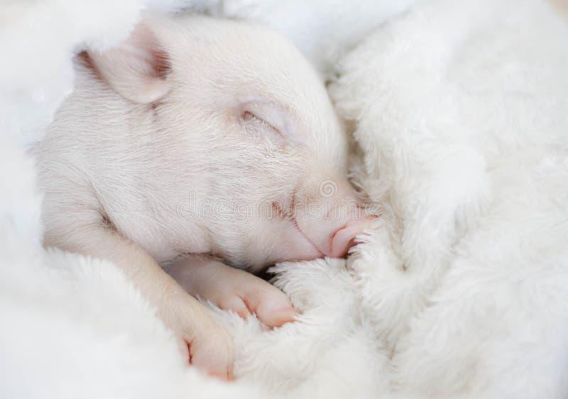 逗人喜爱的猪在一条镶边毯子睡觉 圣诞节猪 免版税库存图片
