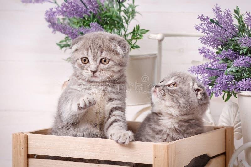 逗人喜爱的猫夫妇在一个木箱的 淡紫色花在背景中 库存照片