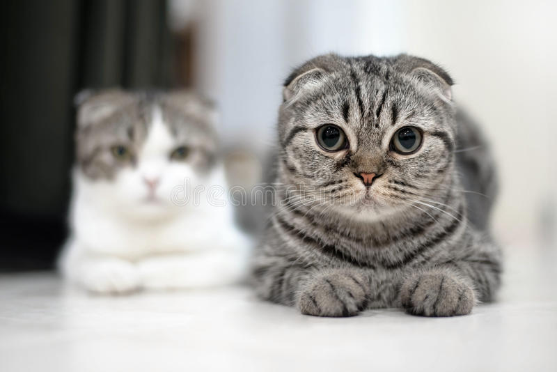 逗人喜爱的猫睡眠,苏格兰人折叠 库存照片