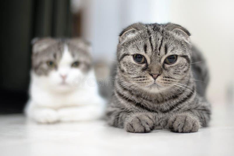 逗人喜爱的猫睡眠,苏格兰人折叠 免版税库存照片