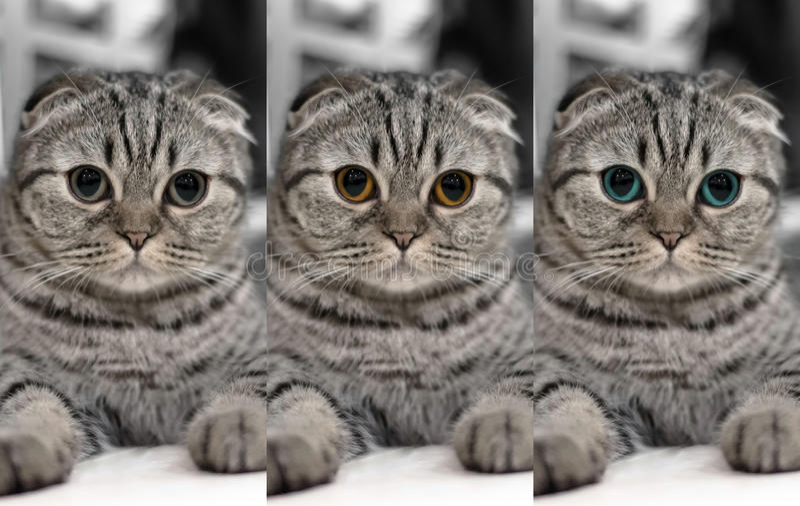 逗人喜爱的猫睡眠,苏格兰人折叠 免版税图库摄影