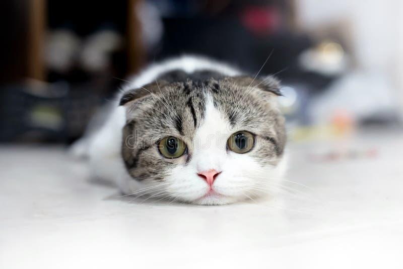 逗人喜爱的猫睡眠,苏格兰人折叠 免版税库存图片