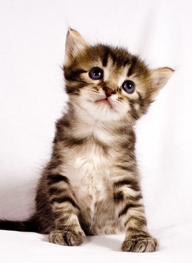 逗人喜爱的猫 免版税库存图片