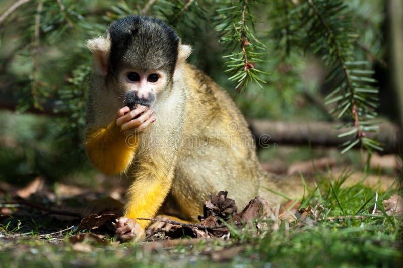 逗人喜爱的猴子灰鼠 免版税图库摄影