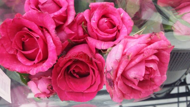 逗人喜爱的玫瑰 免版税库存图片